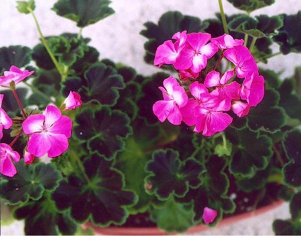 hoa-phong-lu-thao-loai-hoa-vua-dep-vua-thom-de-trong-trang-tri-ban-cong-1