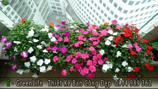 Hoa dừa cạn trồng ban công