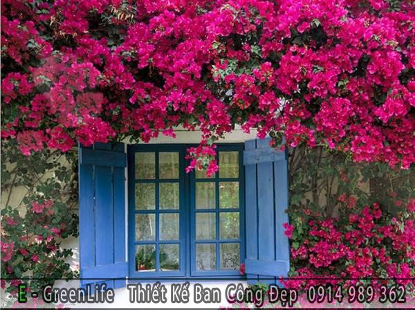 Gợi ý trồng giàn hoa giấy leo ban công