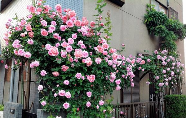 Gợi ý giàn hoa hồng leo trồng ban công