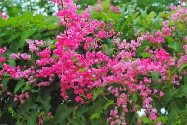Gợi ý hoa Tigon leo trồng ban công