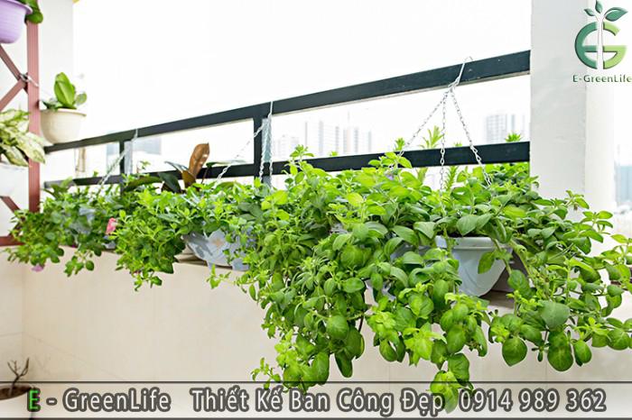 Các chậu hoa dạ yến thảo được treo lên lan can ban công